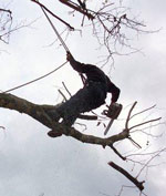 Cornwall Tree Surgeon Surgery